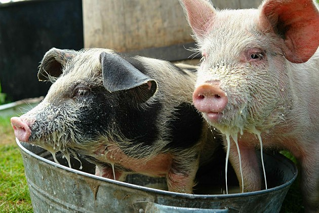 Pigs eating from a trough