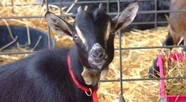 A goat hangs out during the 2012 Vanderburgh County Fair