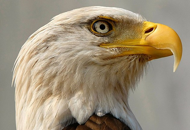 Bald Eagle Removed From Endangered Species List