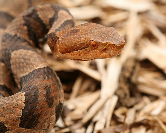 Close-up of a Copperhead